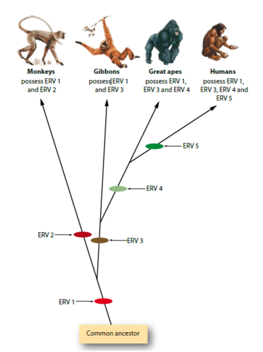 classic example of allopatric speciation